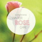 Winter rose planting and care in Australia #aboutthegarden.indd