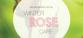 Winter rose planting and care