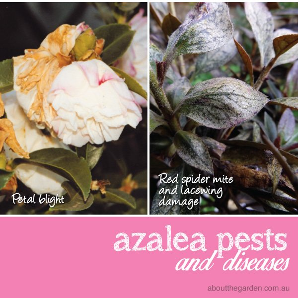 Azalea pest disease damage petal blight lacewing red spider mite