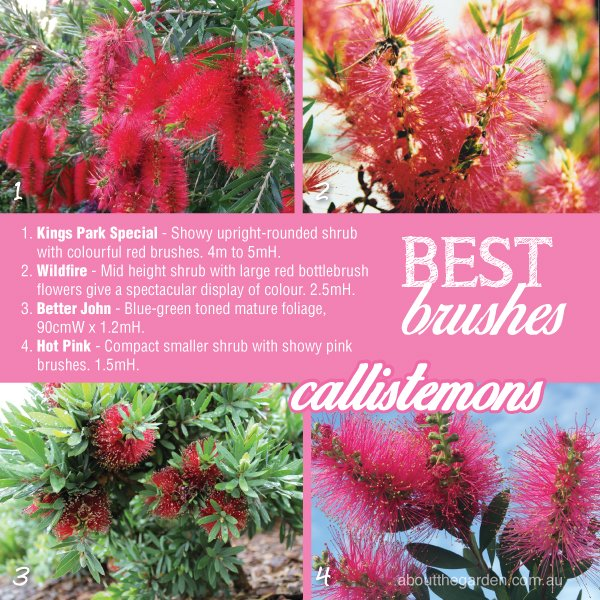 How to grow Bottlebrush Callistemon varieties in Australia #abou