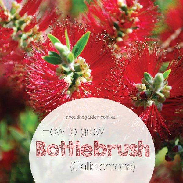 How to grow Bottlebrush Callistemon in Australia #aboutthegarden
