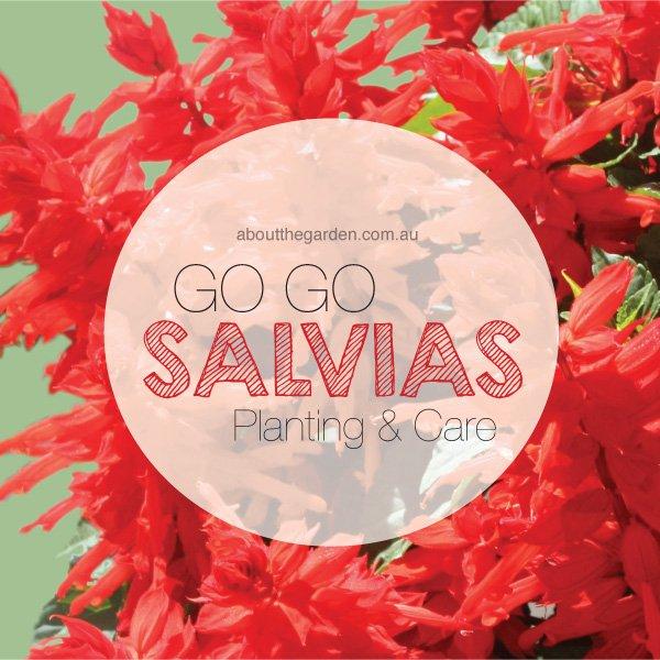 Salvias planting care in Australia Go Go Scarlet #aboutthegarden