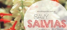 How to grow Salvias in Australia