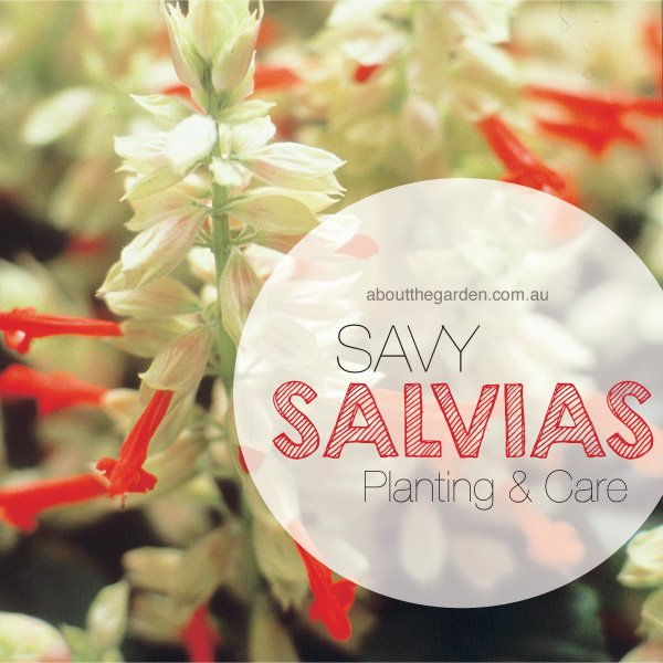 Salvias savy planting care in Australia Go Go Scarlet #abouttheg