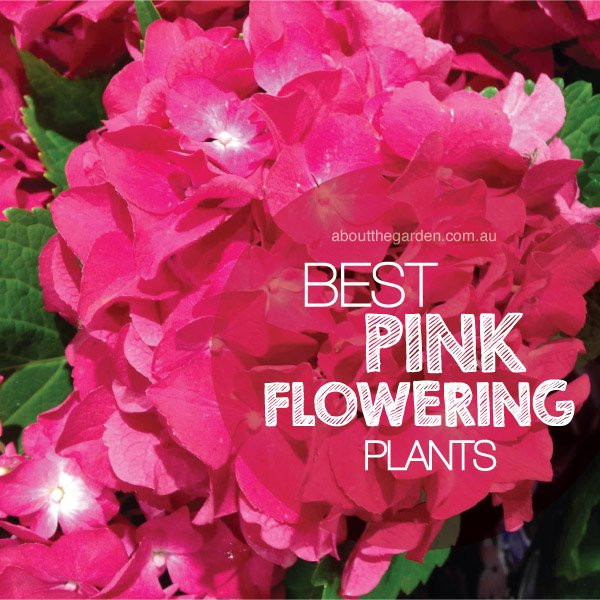 Best pink flowering plants in australiaabout the garden magazine best pink flowering plants in australia mightylinksfo