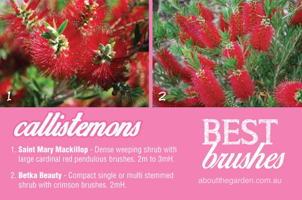 How to grow Bottlebrush Callistemon varieties in Australia 2 #ab