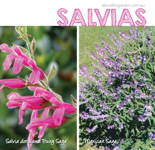 Salvia varieties in Australia Fruity Sage Mexican Sage #aboutthe