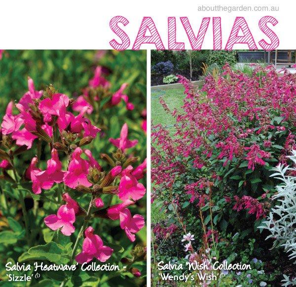 Salvias varieties in Australia Heatwave Wish #aboutthegardenmaga
