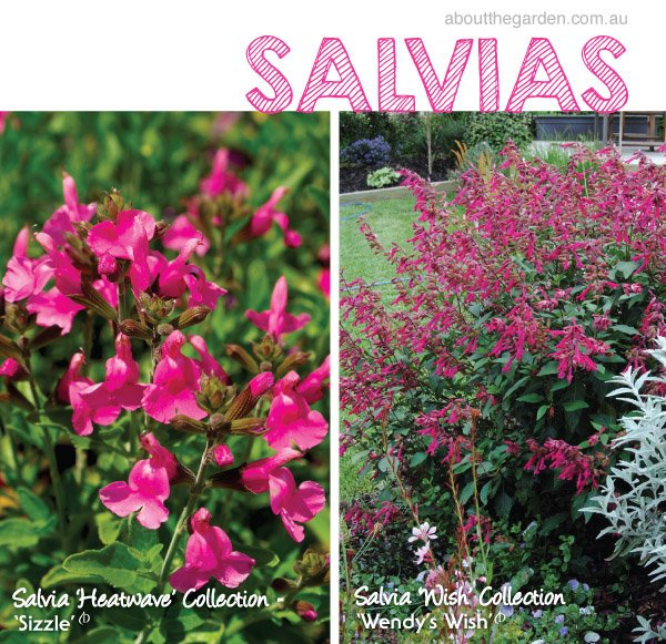 Growing Australian Native Plants: How To Grow Salvias In Australia