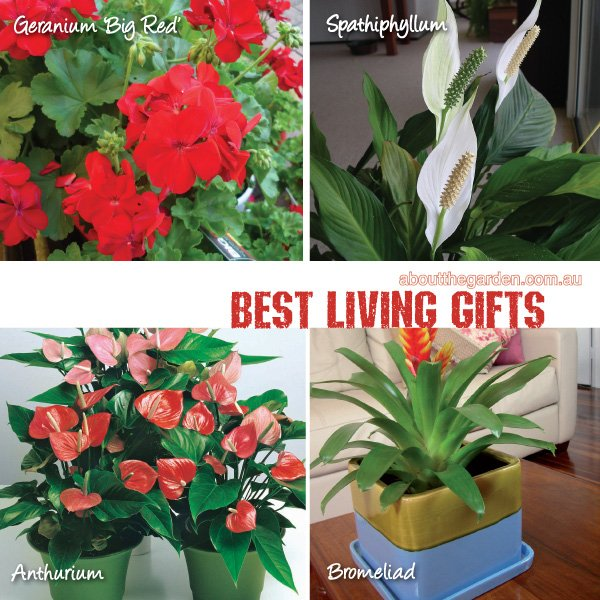 Best plants for gifts varieties in Australia #aboutthegardenmaga