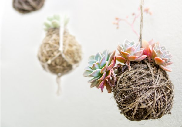 Group of Hanging Succulent Plants Kokedama