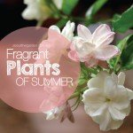 Best fragrant plants flower in summer in Australia #aboutthegard