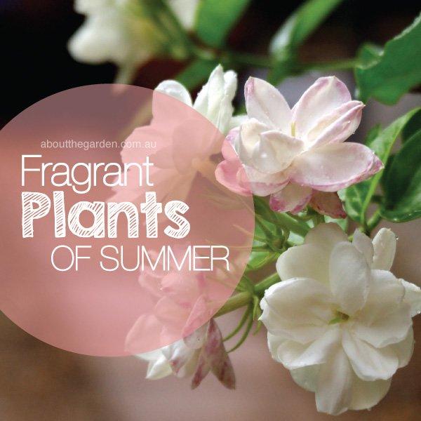 Best fragrant plants flower in summer in Australia #aboutthegard