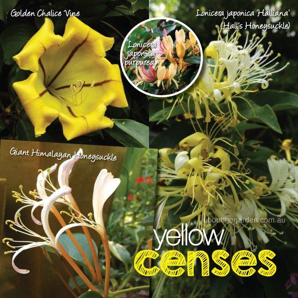 Best fragrant plants flower in summer varieties in Australia 2 #