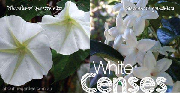 Best fragrant plants flower in summer varieties in Australia #ab