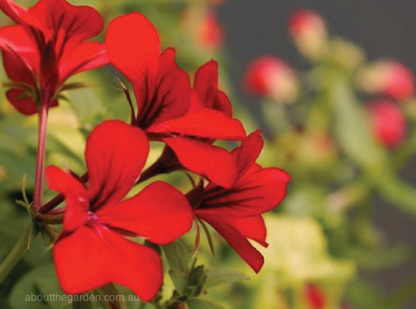 Geraniums are known for their colourful, profuse flowering, and can even be brought inside during the colder months!