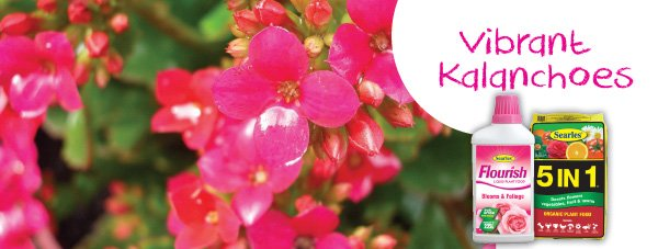Gardening Products for growing Kalanchoes in Australia home.indd