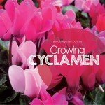 Growing Cyclamen