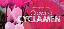 Growing Cyclamens