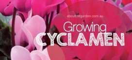 Growing Cyclamens