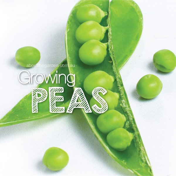 How to grow Garden Peas in Australia #aboutthegardenmagazine.ind