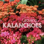 How to grow Kalanchoes in Australia #aboutthegardenmagazine.indd