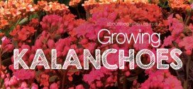 Growing Kalanchoes