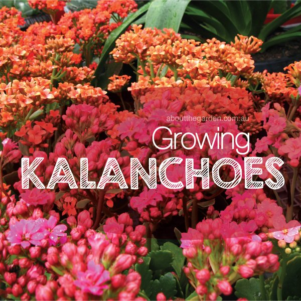 Growing Kalanchoes | About The Garden Magazine on can see, can the lost tapes, can go, can get,