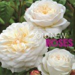 New Release 2016 Roses for winter in Australia #aboutthegardenma