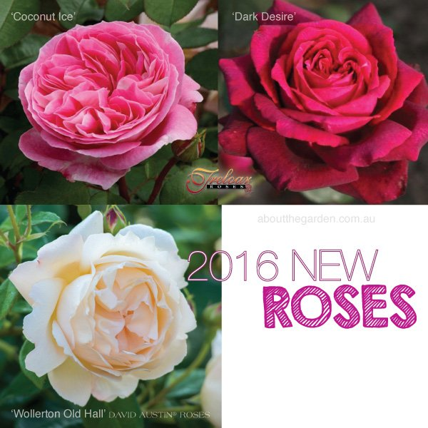 New Release 2016 Roses for winter in Australia varieties #aboutt