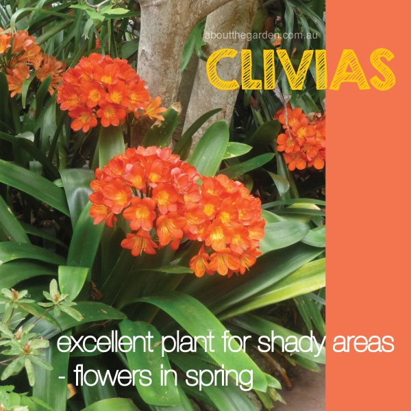 Clivias love shady areas under trees in Australia #aboutthegarde