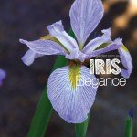 Iris plants for any type of garden in Australia #aboutthegardenm