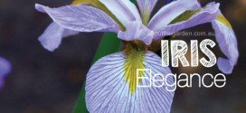Iris plants for any garden type