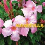 Mandevillas climbing plant in Australia #aboutthegardenmagazine.
