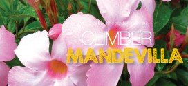 Mandevilla – Large flower plant climber