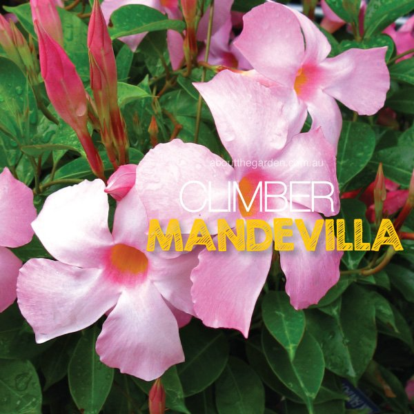 Mandevilla large flower plant climber about the garden magazine have you ever wished you could splash colourful flowers all over your garden as if with a magical paintbrush mandevillas can do just that mightylinksfo