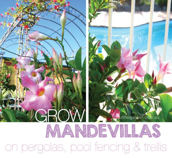 Mandevillas climbing plants for pergolas, trellis in Australia #