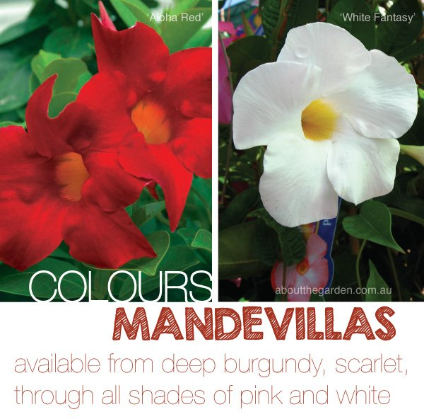 Mandevilla large flower plant climber about the garden magazine alternatively year round feeds with searles flourish fortnightly in summer monthly in winter will keep plants healthy and promote flowering mightylinksfo