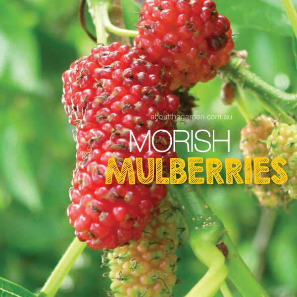 Mulberries growing in Australia #aboutthegardenmagazine.indd