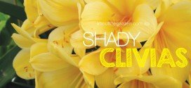 Shade Loving Clivias