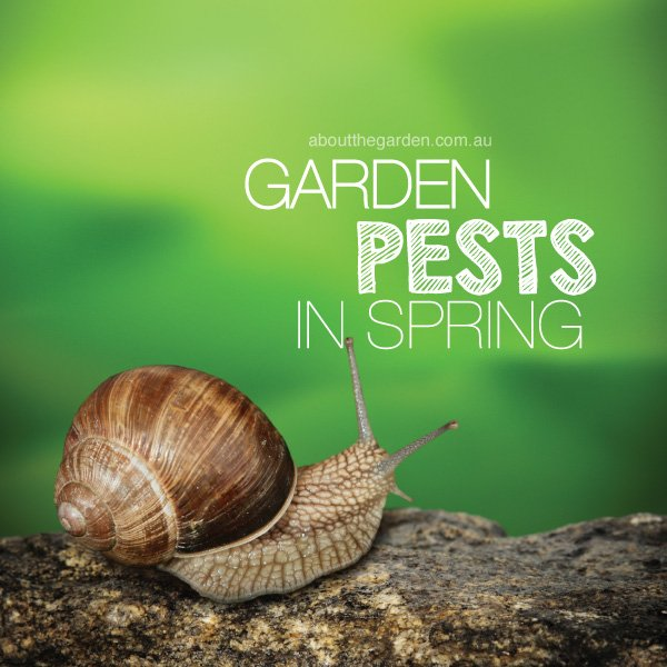 Garden Pests and bugs in spring in Australia #aboutthegardenmaga
