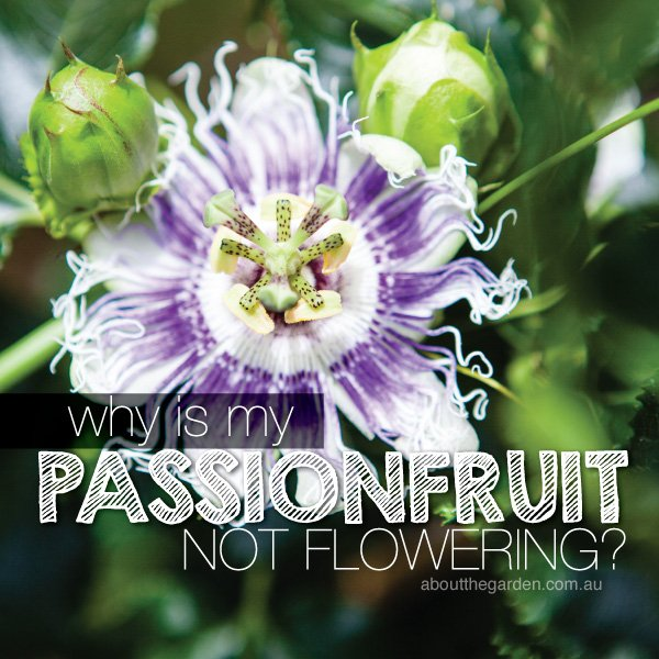 Passionfruit not flowering in Australia #passionfruit #abouttheg