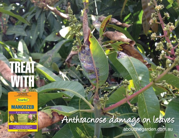 Anthracnose on growing mangoes in Australia #aboutthegardenmagaz