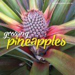 How to grow, plant Pineapples in Australia #aboutthegardenmagazi