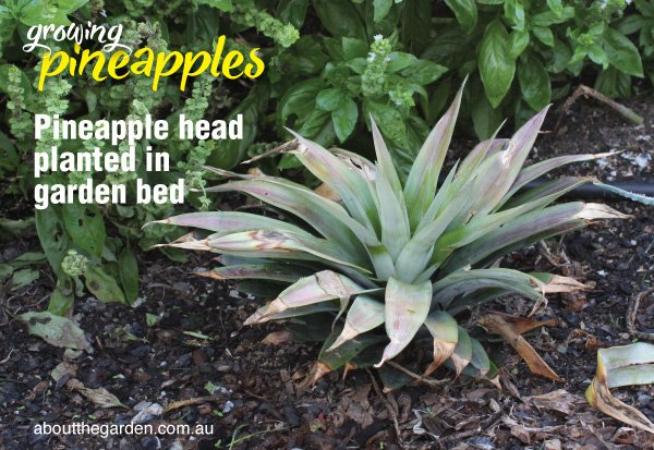 How to plant a pineapple in Australia #aboutthegardenmagazine.in