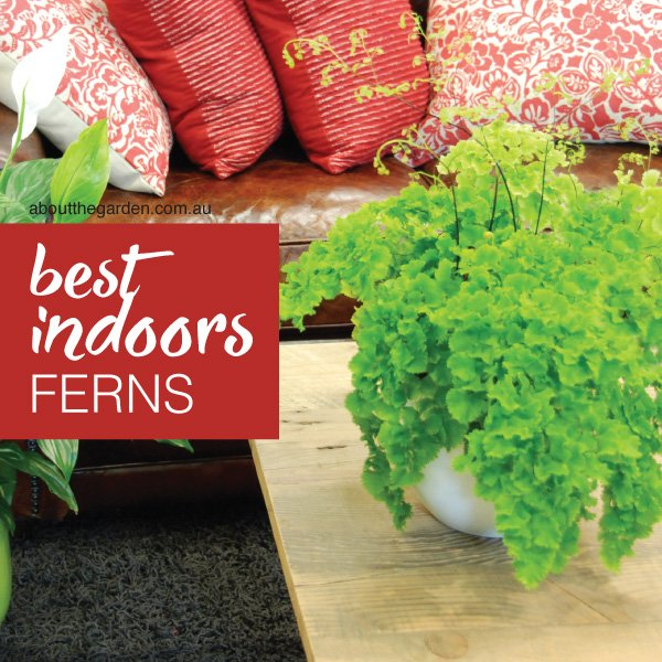 Best and easy indoor plants to grow in Australia.indd