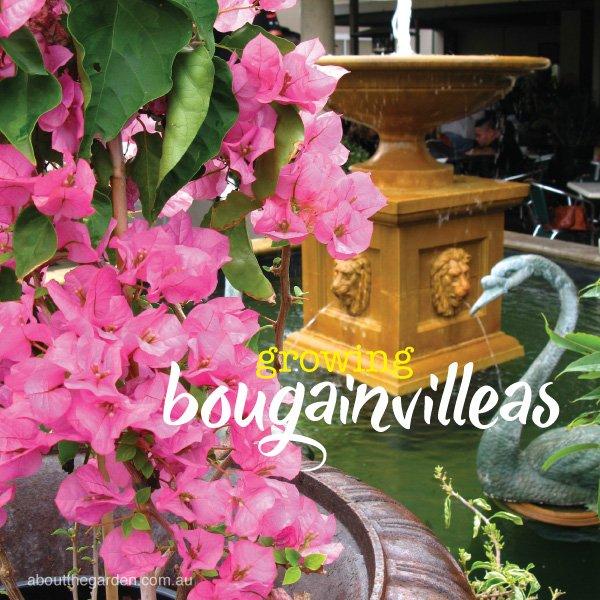 How to grow best bougainvilleas in Australia #aboutthegarden.ind