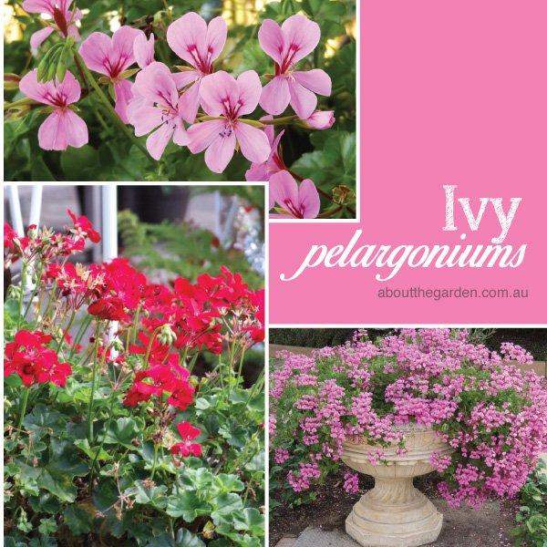 Ivy Pelargoniums varieties in Australia #aboutthegardenmagazine.