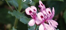 Pelargoniums for garden colour (Geraniums)