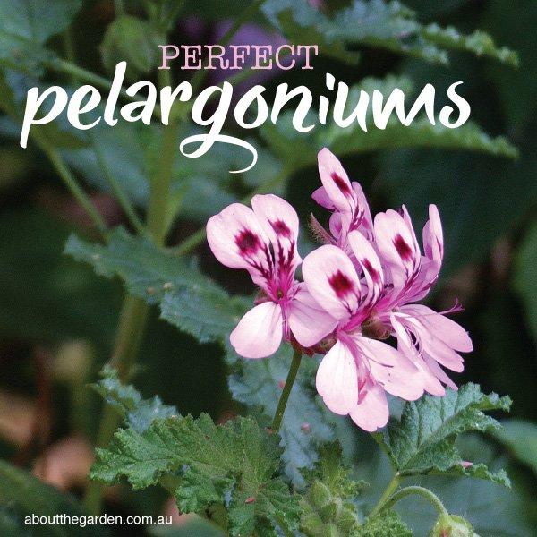 Pelargoniums for garden colour - Geraniums - Australian Gardens